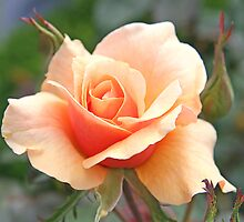 Pale Apricot Rose by Jenny Brice