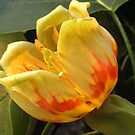 Tulip Tree Flower (Liriodendron) by Bev Pascoe
