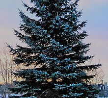 Frosted Spruce by Kathleen   Sartoris