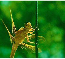 Dragon-fly Photographic Print