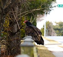 Vulture by MorganHoffman
