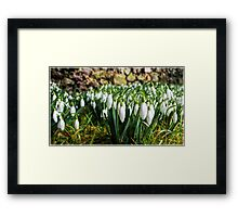 Snowdrops - Galanthus Framed Print