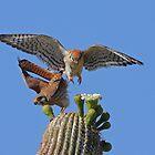 Move Over Please: American Kestrels by tomryan