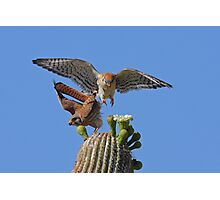 Move Over Please: American Kestrels Photographic Print