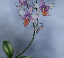 Doritaenopsis Orchid. by Philip Holley
