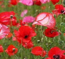 Poppy Patch by aussiedi