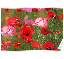 Poppy Patch Poster