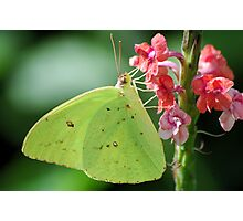 Cloudless Sulphur Photographic Print