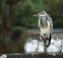 Young Heron by Nic Relton