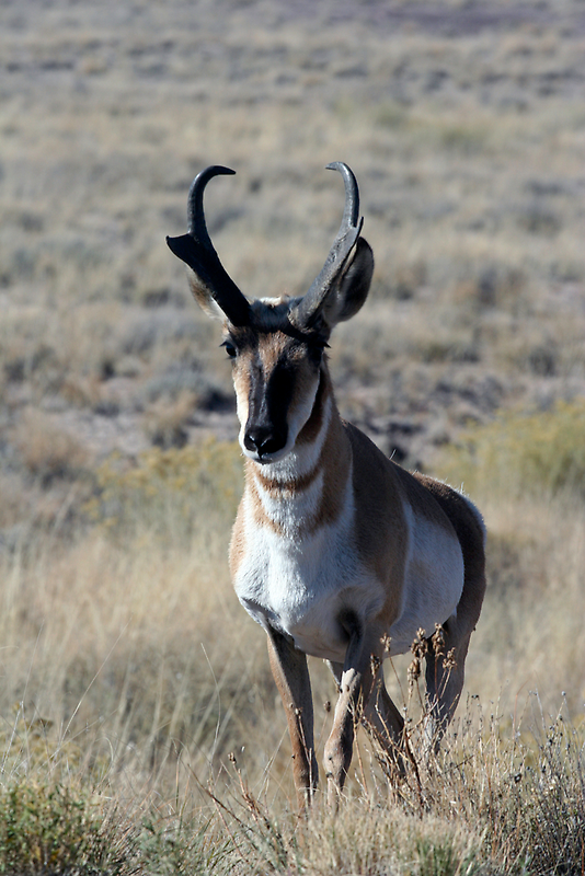 Pronghorn by Chris Clarke