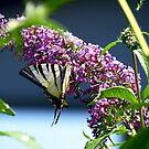 Butterfly 2 by Kallian
