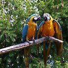 Parrots by Tiffany Vest