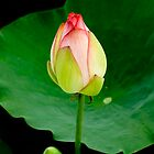 lotus2 by fatalsweets