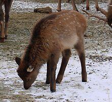 Baby Elk by tkrosevear