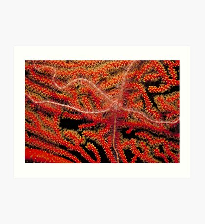 Brittle Star on Coral Art Print