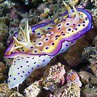 Nudibranch, Wakatobi, Indonesia by David Leonard