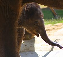 Asian baby elephant by jdmphotography