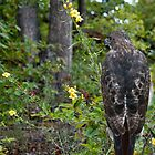Red-shouldered Hawk by barnsis