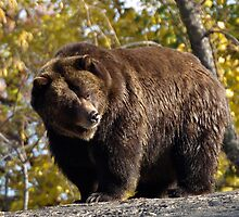 Grizzly by main1