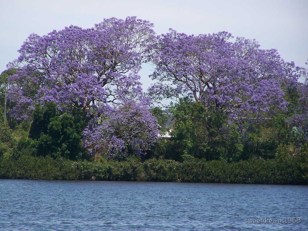 Jacaranda Sights by Carol Field