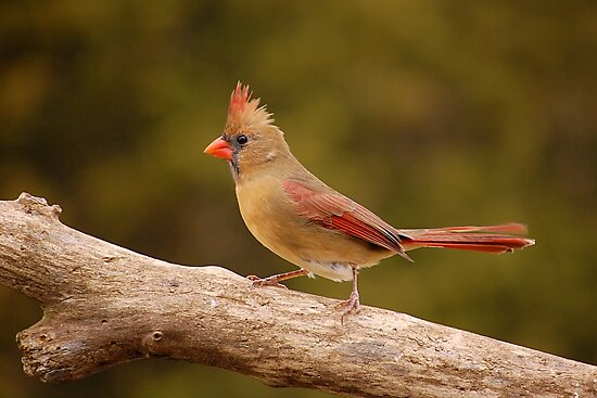 The Cardinal strut by Gregg Williams