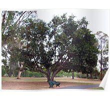 Moreton Bay Fig~Fichs Macrophylla -  Moraceae Poster
