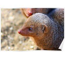 Mongoose close up ! Poster