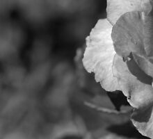rose w/ dew drop by bobjaret