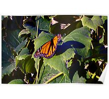 Monarch Butterfly on Grape Leaves Poster
