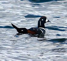 Beautiful Harlequin by lloydsjourney