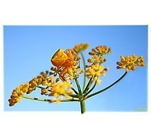 Goldenrod Crab Spider Photographic Print