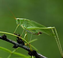"""Katydid...aka """"Green Bush Cricket"""" by Dennis Stewart"""