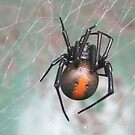 redback spider by Rick Playle