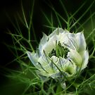 Nigella... by Mary Trebilco