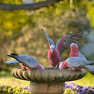 Galah's Getting a Drink by Larry Lingard-Davis