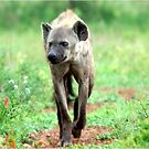 ON A MISSION STRAIGHT TO ME - *Spotted Hyaena - Crocuta crocuta* by Magriet Meintjes