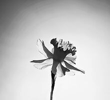 Narcissus | Daffodil Flower by Nalin Solis