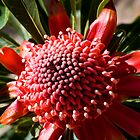 Spring Waratah by Gayle Shaw