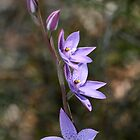 Spotted Sun Orchid by Gayle Shaw