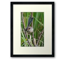 A female Variegated Fairy-Wren Framed Print