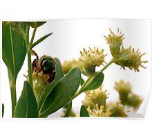 Metallic green bee Poster