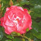 Pink rose by rosswilliams