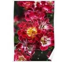 The Beauty Of Carpet Roses  Poster