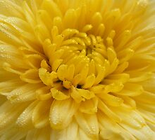 Yellow  Frosty Flower by Stacy Colean