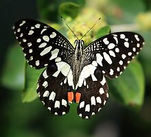 Mr. Lime Butterfly by David Clark