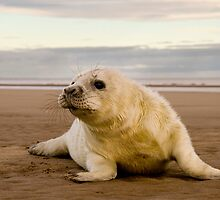 Day old Seal Pup by George Ledger