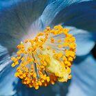 Himalayan Blue Poppy by Mirka Rueda Rodriguez