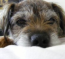 Border Terrier by Yarde