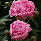 Pink Peonies by Megan Noble
