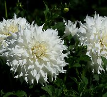 White Dahlia's by Debra LINKEVICS